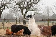 Liggende lama