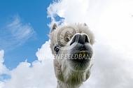 Gecastreerde alpacahengst