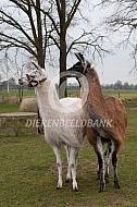 Twee lama's