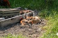 Kippen nemen een zandbad