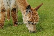 Grazende alpaca