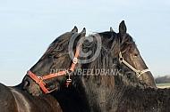 Poetsende friese paarden