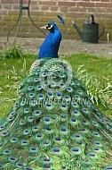 Staart blauwe pauw