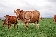 Limousin koeien