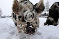Kunekune varken in de sneeuw