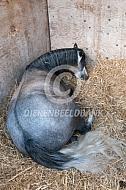 Liggend paard