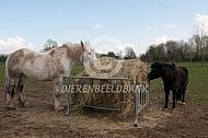 Werkpaard en pony bij hooiruif