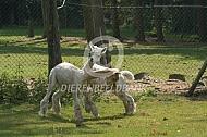 Spelende alpaca's