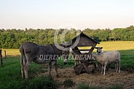 Ezel en schapen bij de hooiruif