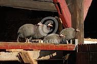 Parelhoenders (Numida meleagris)
