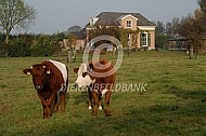 Lakenvelder koe