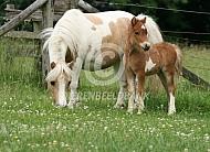 Amerikaanse miniatuurpaard merrie met veulen