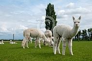 Nieuwsgierige Alpaca cria