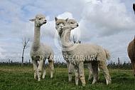 Alpaca's in de wei