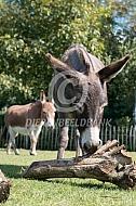 Mediteranne mini-ezels bij stronk