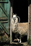 Lama bij haar stal (Lama glama)