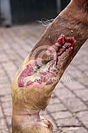 Diepe beenwond paard