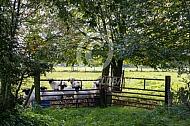 Walliser Schwarznase achter een hek
