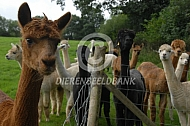 Alpacafokker in Engeland