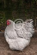 Orpington hen (lavendel)