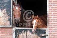 Paard en veulen op stal