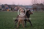 Spelende jonge trekpaard veulens