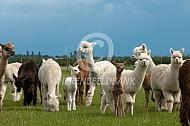 Alpacakudde