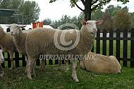 Belgisch melkschaap