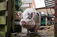 Huisvarken in de tuin