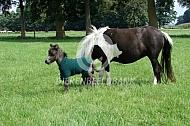 Amerikaanse miniatuurpaard met veulen