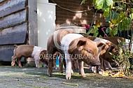 Big van het Husumer varken