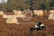 Veluwse heideschapen op de hei