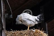 Kip maakt zijn veren in orde