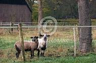 Maasduinenschaap lammeren