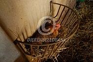 Fries hoen legt een ei