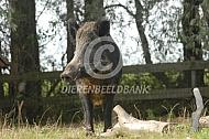 Wild zwijn in gevangenschap