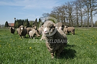 Wolmerino schapen