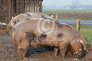 Bonte Bentheimer varkens