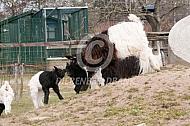 Wallische geit met spelende lammeren
