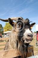 Vlaamse geit