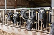 Fries Hollandse koeien aan het voerhek