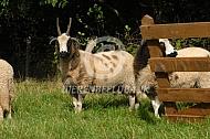 Jacob schapen