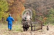 Aardappels rooien met een trekpaard