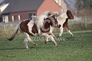 Amerikaanse miniatuurpaardjes