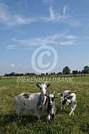 Nederlandse landgeiten
