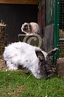 Geknipt langharig konijn