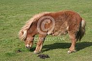Hoefbevangen shetlander pony