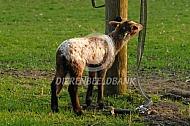 Lam van het Drentse heidschaap