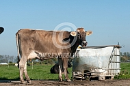 Brown Swiss bij drinkbak