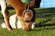 Grazende alpaca met cria